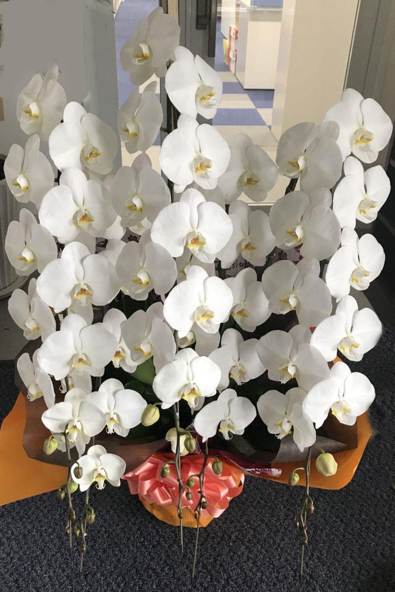 胡蝶蘭とシュロチク