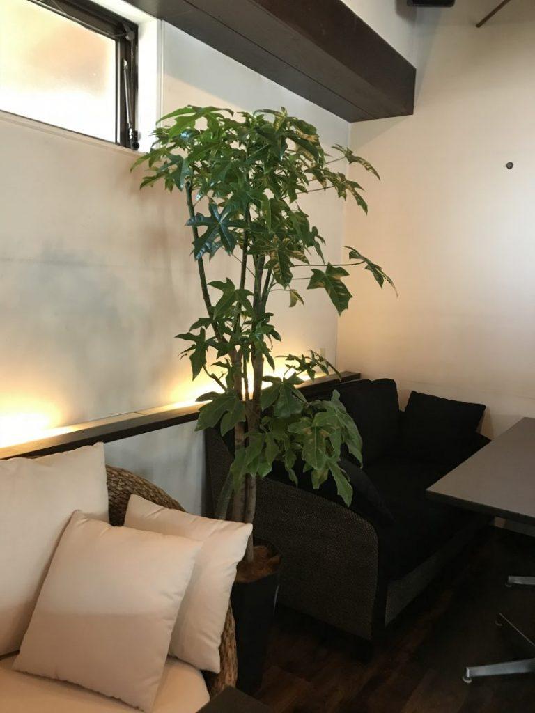 観葉植物レンタル/ボトルツリー(ブラキキトン)
