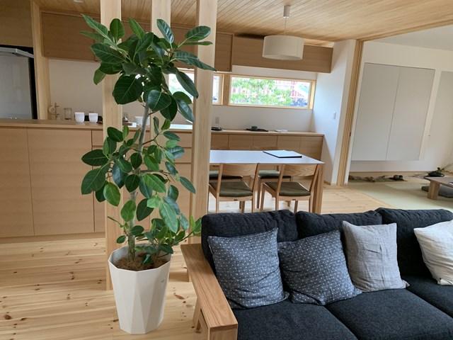 観葉植物レンタル/アルテシーマゴム