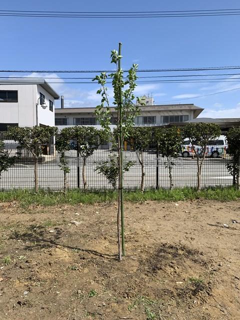 桜の植え込み