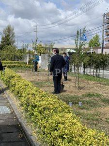 桜の植え込み3