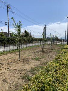 桜の植え込み2